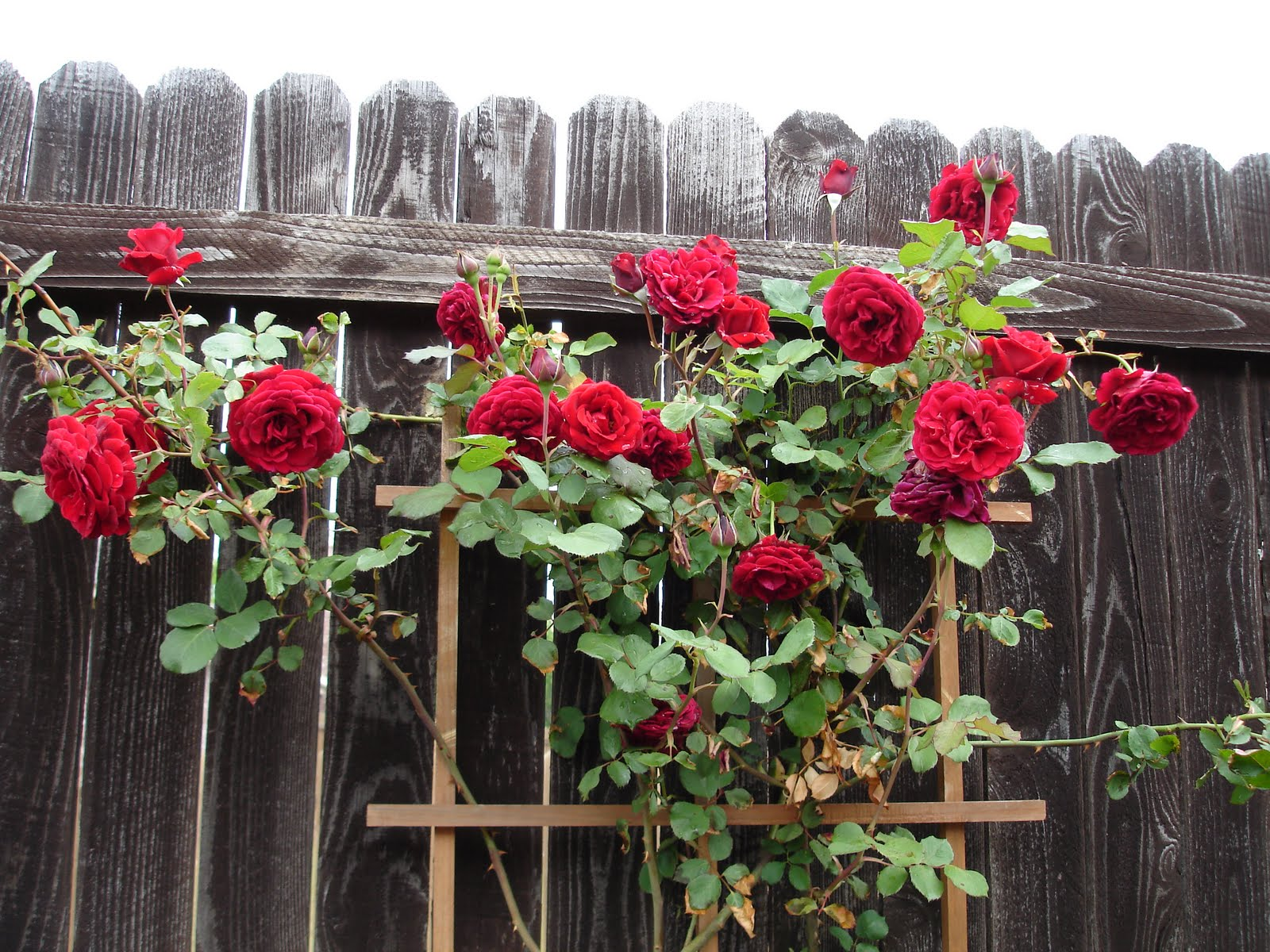 How to trim a rose bush - Pruning Roses